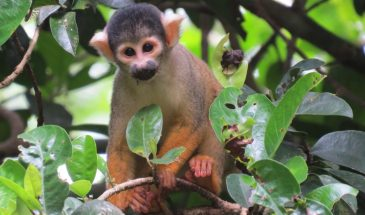 Squirrel Monkey, Lake Sandoval, Sky High Andes tours